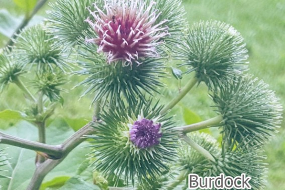 Burdock is a wonderful herb known for its numerous health benefits