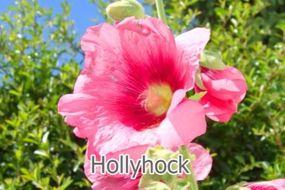 Healing Hollyhock