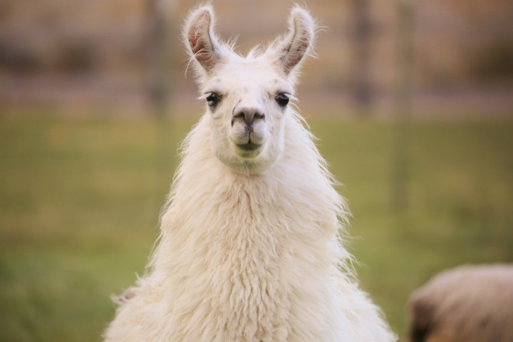 Llamas linked to flu solution