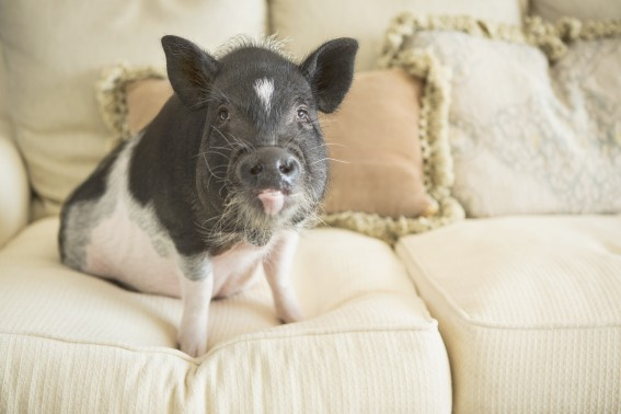 Meet Albert, the therapy pig