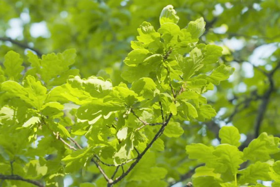 Oak - The Healing Herb